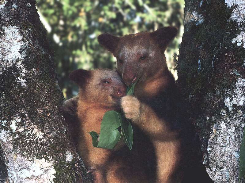 photograph of tree kangaroos